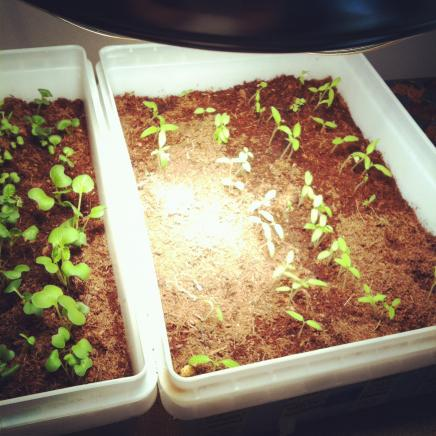 seedlings2.JPG