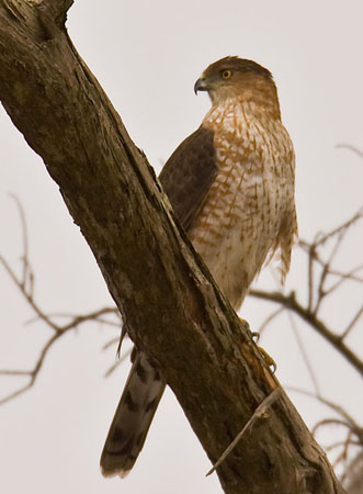 coopers-hawk-1.jpeg