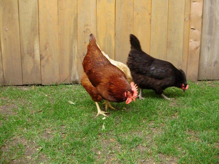 katchickens.jpg
