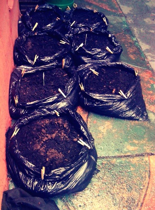 potato bags.jpg